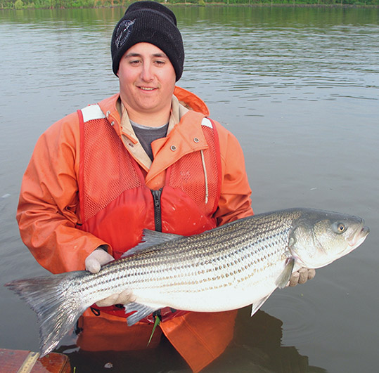 Striped Bass (Adult)