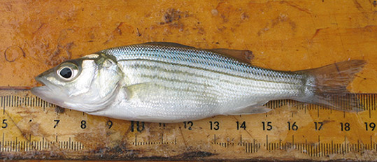 Striped Bass (YOY)
