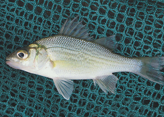 White Perch (Adult)